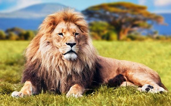 Nằm mơ thấy con sư tử là điềm gì, đánh con gì chắc ăn nhất?