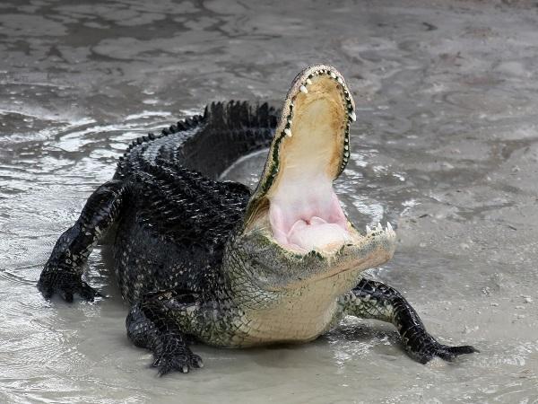 Mơ-thấy-cá-sấu-đánh-con-số-gì